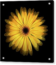 Acrylic Print featuring the photograph Yellow Gerbera Daisy Repetitions by Bill Swartwout Fine Art Photography