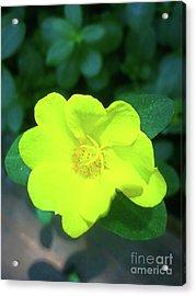 Yellow Hypericum - St Johns Wort Acrylic Print