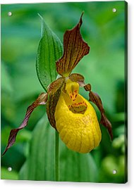 Yellow Lady's Slipper Acrylic Print