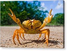 Yellow Land Crab. Cuba Acrylic Print
