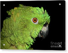 Acrylic Print featuring the photograph Yellow-naped Amazon by Debbie Stahre