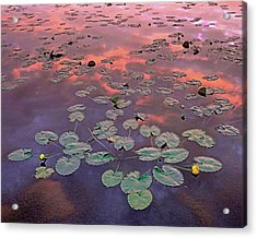 Yellow Pond Lilies At Sunset, North Acrylic Print