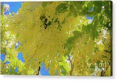 Yellow Shower Tree Flowers - Hawaii Acrylic Print by D Davila