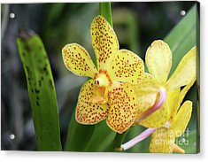 Yellow Spotted Orchids Acrylic Print