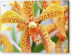 Yellow Spotted Spider Orchids Acrylic Print