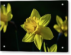 Yellow Spring Daffodils Acrylic Print