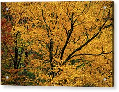 Yellow Tree Leaf Brilliance  Acrylic Print
