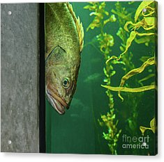 Yellowtail Rockfish Playing Peekaboo Acrylic Print