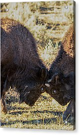 Acrylic Print featuring the photograph Young Bison by Pete Federico