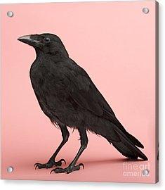 Young Carrion Crow - Corvus Corone 3 Acrylic Print