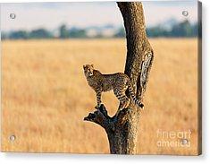Young Cheetah In The Tree In Masai Acrylic Print