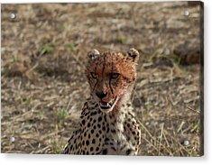 Young Cheetah Acrylic Print