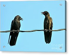 Young Crow Chatting With Mom Acrylic Print