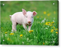 Young Funny Pig On A Spring Green Grass Acrylic Print