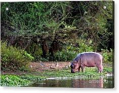 Young Hippo Feeding On River Bank Acrylic Print