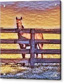 Young Kentucky Thoroughbred Acrylic Print