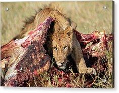 Young Lion On Cape Buffalo Kill Acrylic Print