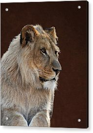 Young Male Lion Portrait Acrylic Print