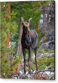 Young Moose In The Morning Forest Acrylic Print