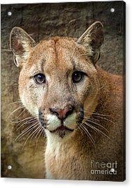 Young Puma Acrylic Print