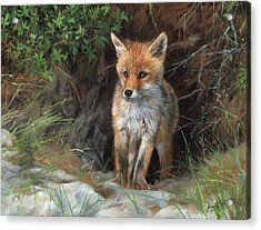 Young Red Fox Acrylic Print