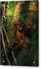 Young Sumatran Organutan Pongo Pongo Acrylic Print