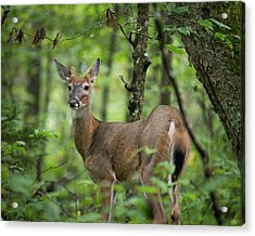 Young White-tailed Deer, Odocoileus Virginianus, With Velvet Antlers Acrylic Print
