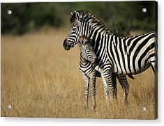 Zebra Eqqus Burchelli With Colt, Savuti Acrylic Print
