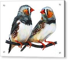 Zebra Finch Drawing Taeniopygia Guttata Acrylic Print