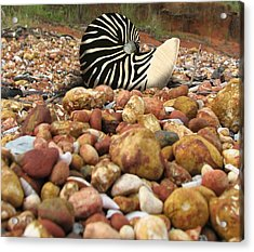 Zebra Nautilus Shell On Bauxite Beach Acrylic Print