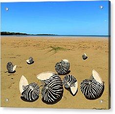 Zebra Nautilus Shells On The Beach  Acrylic Print