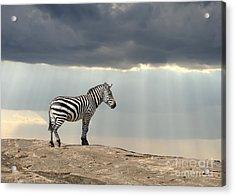 Zebra On Stone In Africa, National Park Acrylic Print
