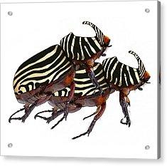 Zebra Pattern Rhinoceros Beetle 2 Acrylic Print