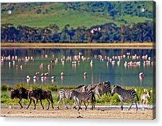 Zebras And Wildebeests Walking Beside Acrylic Print