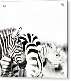Zebras Black And White Acrylic Print