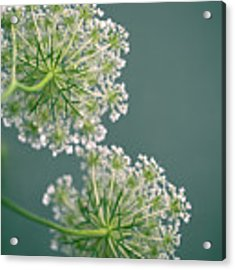 Fragile Dill Umbels On Summer Meadow Acrylic Print by Nailia Schwarz