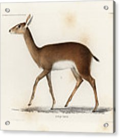 Oribi, A Small African Antelope Acrylic Print by J D L Franz Wagner