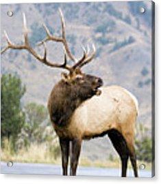 Bull Elk Acrylic Print by Wesley Aston
