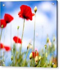 Corn Poppy Flowers Acrylic Print by Nailia Schwarz