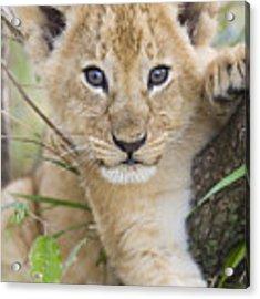 African Lion Cub Kenya Acrylic Print by Suzi Eszterhas