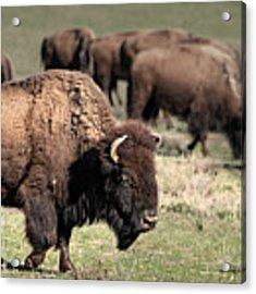 American Bison 5 Acrylic Print by James Sage