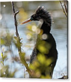 Anhinga 3 March 2018 Acrylic Print by D K Wall