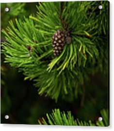 Baby Pine Cone Acrylic Print by Whitney Leigh Carlson