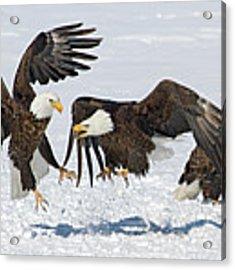 Bald Eagle's Acrylic Print by Wesley Aston
