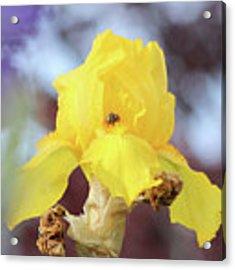 Bee In An Iris Bloom Acrylic Print by Ann E Robson