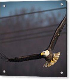 Bird In Flight  Acrylic Print by Cindy Lark Hartman