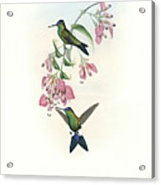 Blue-capped Puffleg Hummingbird Eriocnemis Glaucopoides Acrylic Print by John and Elizabeth Gould