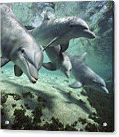 Four Bottlenose Dolphins Hawaii Acrylic Print by Flip Nicklin