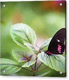 Brave Butterfly  Acrylic Print by Cindy Lark Hartman