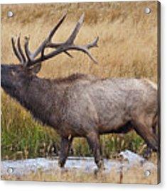 Bull Elk In Yellowstone Acrylic Print by Wesley Aston